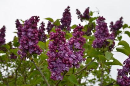 Dobele Lilac Festivale